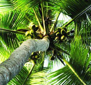 Dừa: Cây của cuộc sống